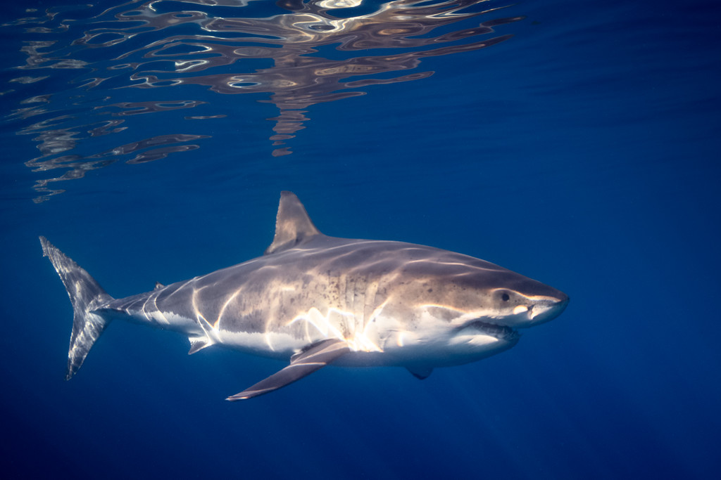 Great White smile and reflection at the surface