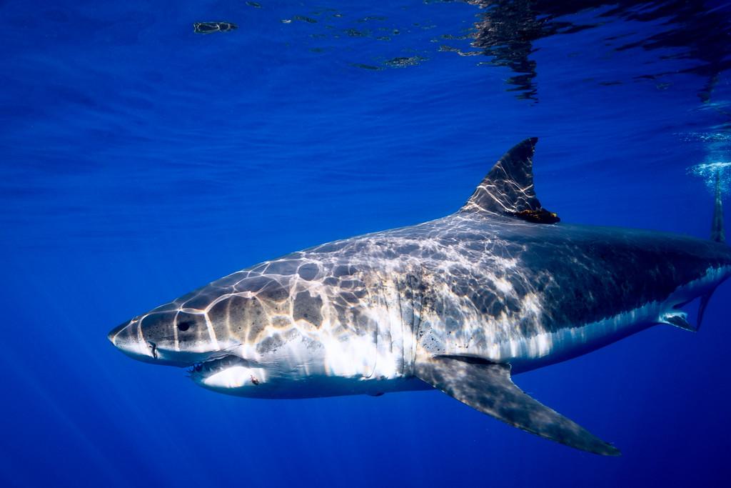 Patterned Shark