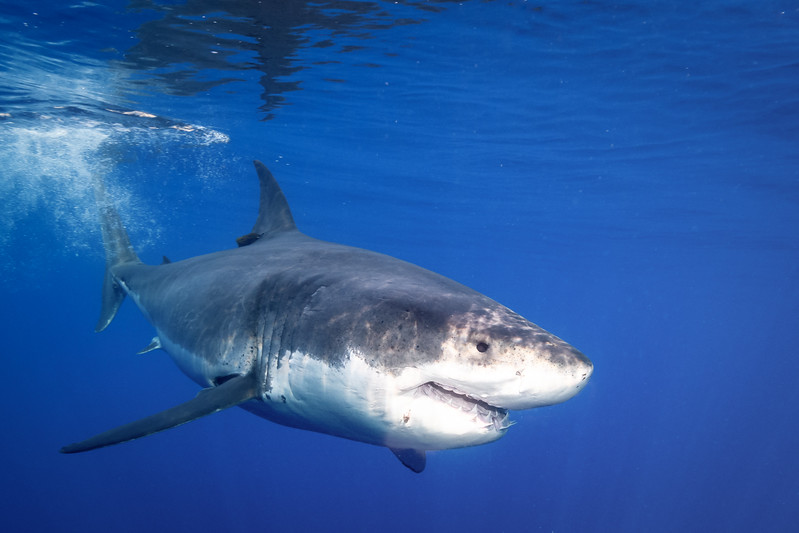 Torpedo Great White Shark
