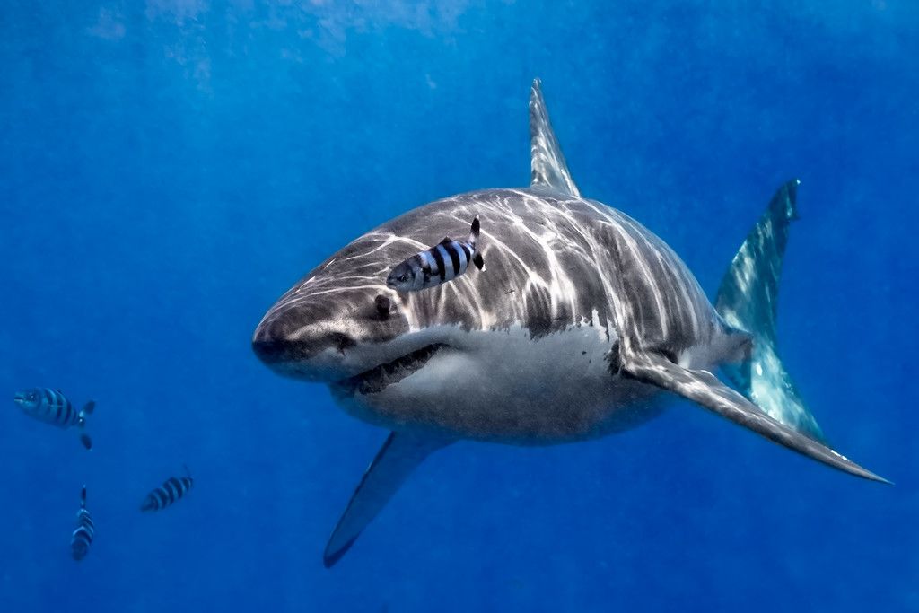Great white and pilot fish