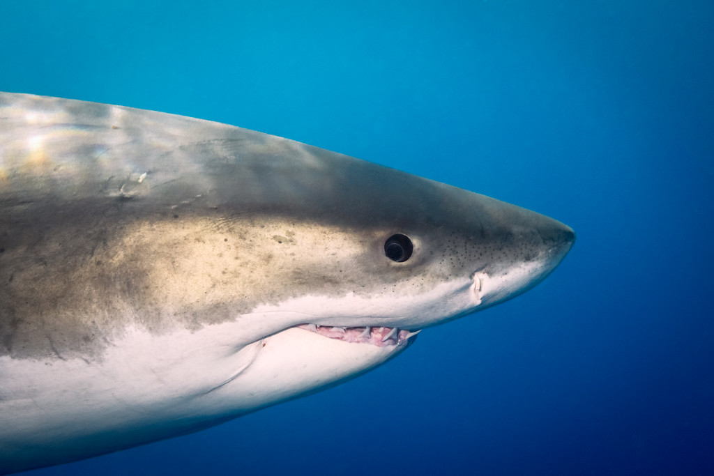 A close-up look at the eye of a Great White shark