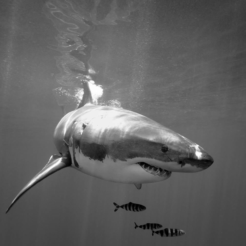 B & W version of a pretty bashed up shark