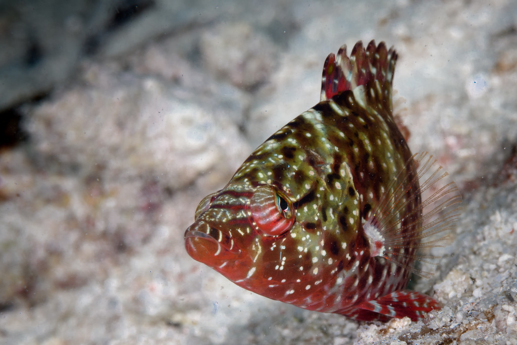 Small Ornate Wrasse by Ken