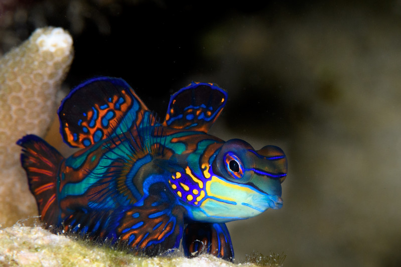 Mandarin fish by Ken