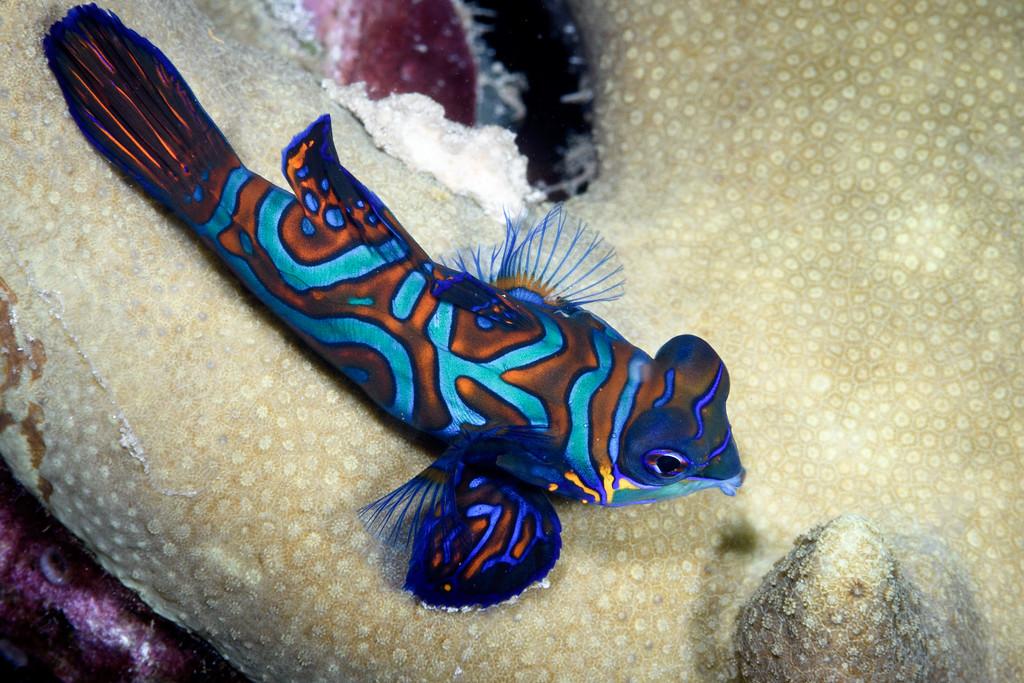 Mandarin fish 2 by Ken