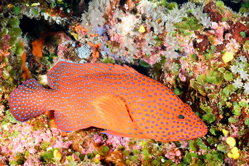 Coral Trout by Ken
