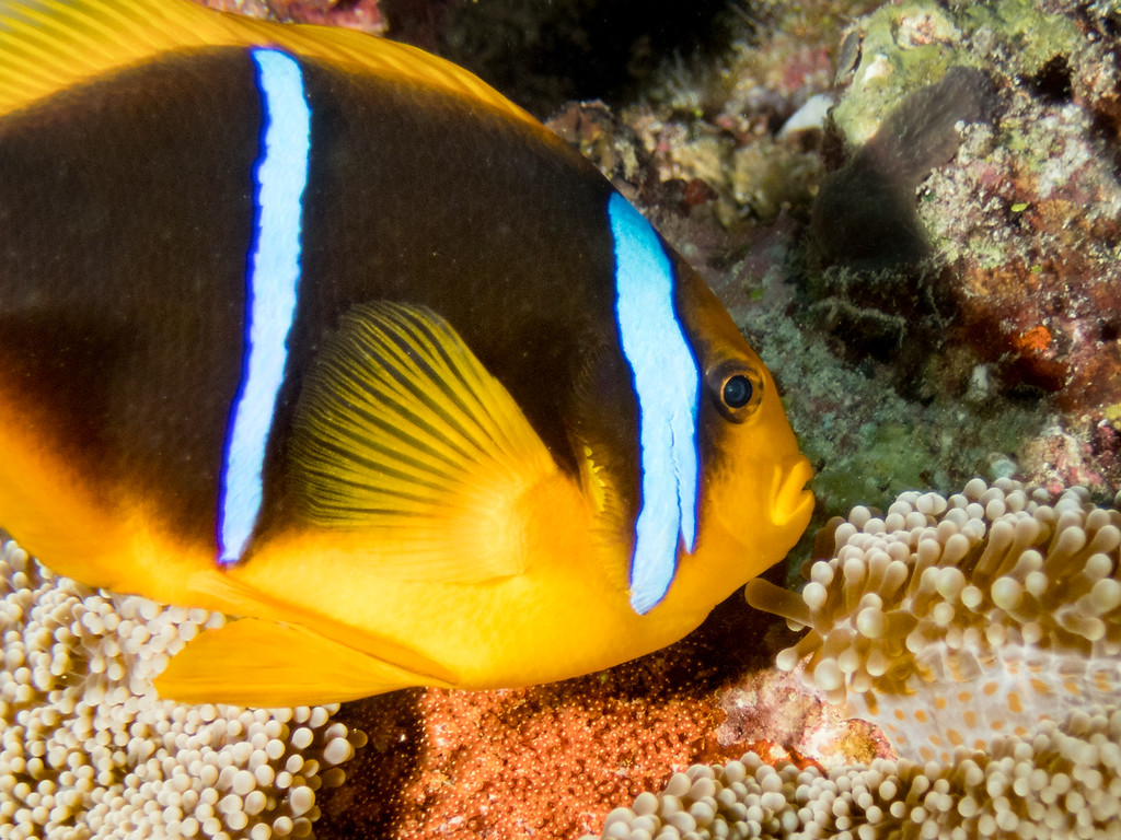 Anemone fish with eggs by Ann
