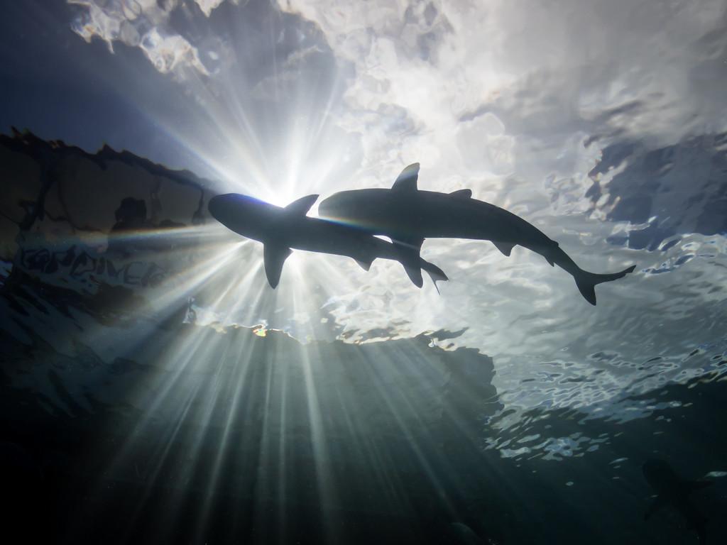 Sharks in sunball by Ann