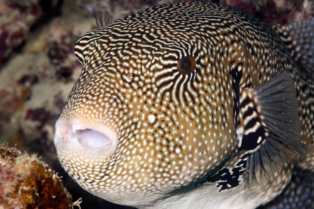 Map Puffer fish by Ken