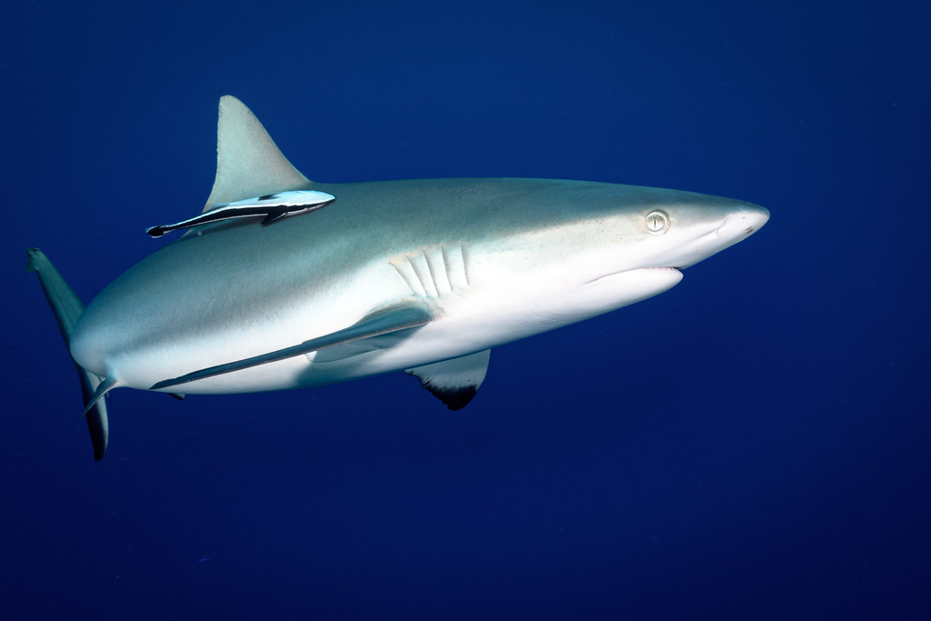 Reef shark and Remora by Ken