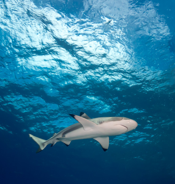 Blacktip Shark by Ann