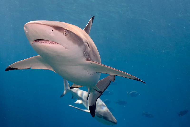Blacktip sharks at vertigo by Ken