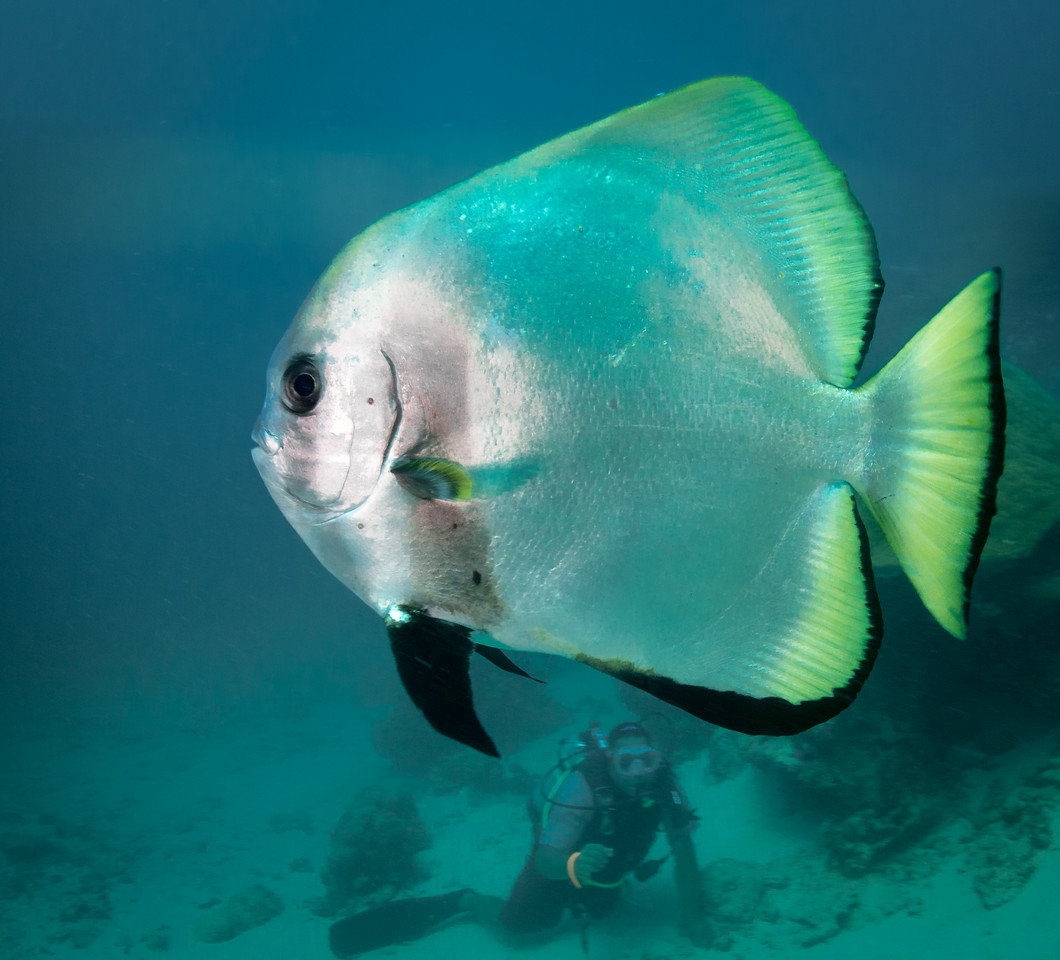 Batfish and dive guide by Ann