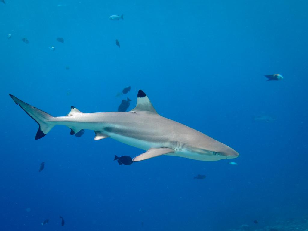 Blacktip Reef shark by Ann