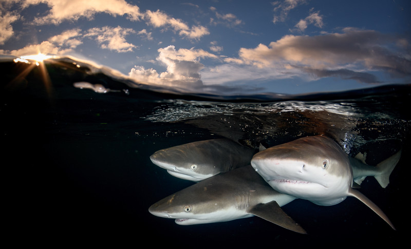 Trio of sharks at sunset 2 by Ken
