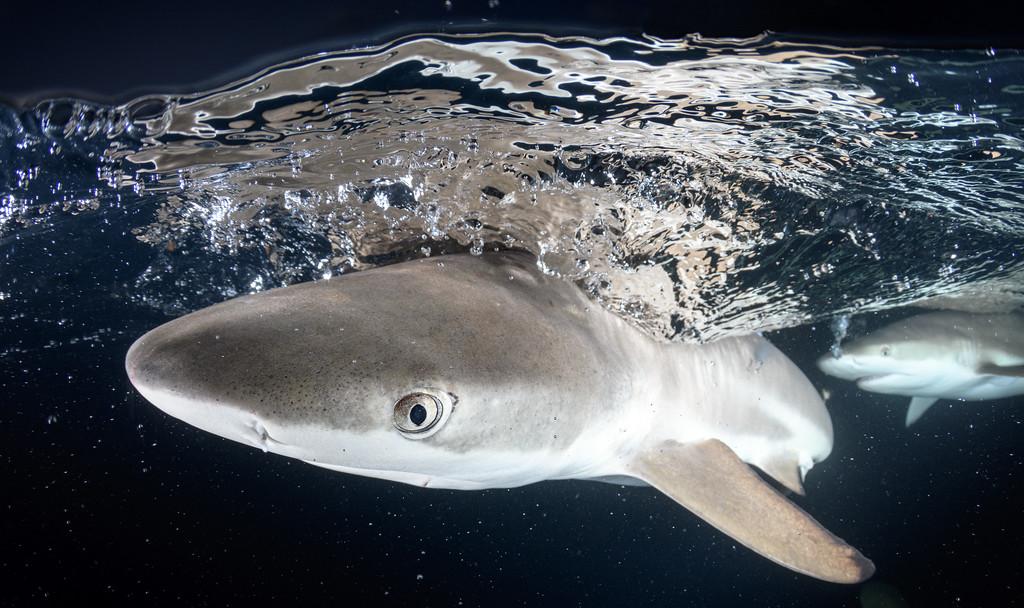 Reef shark stare by Ken
