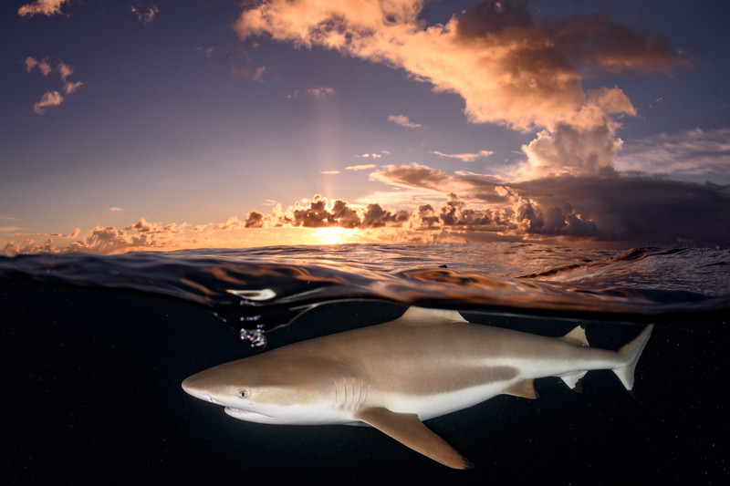 Blacktip at sunset by  Ken