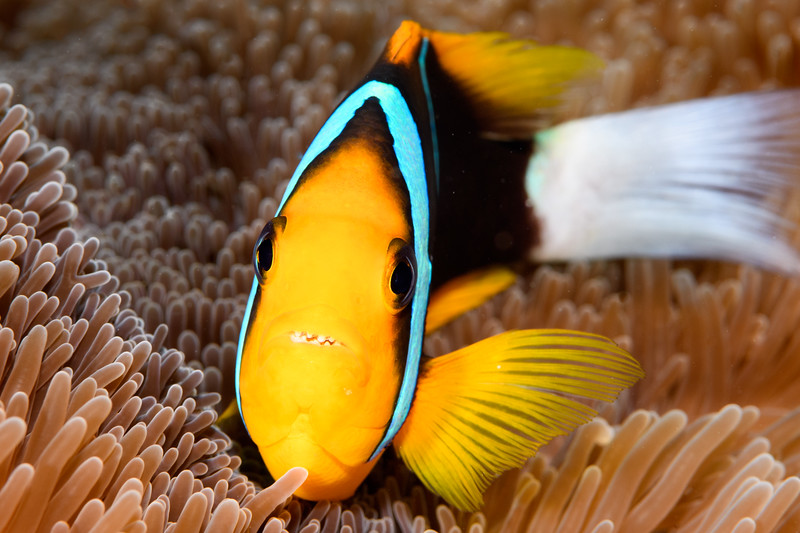 Grinning Anemone fish by Ken