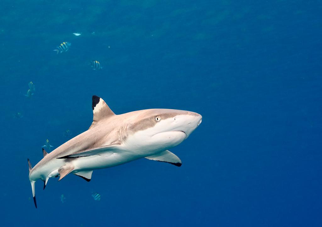 Blacktip reef shark with pilot fish by Ken