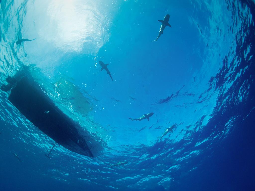 Circling Sharks by Ann