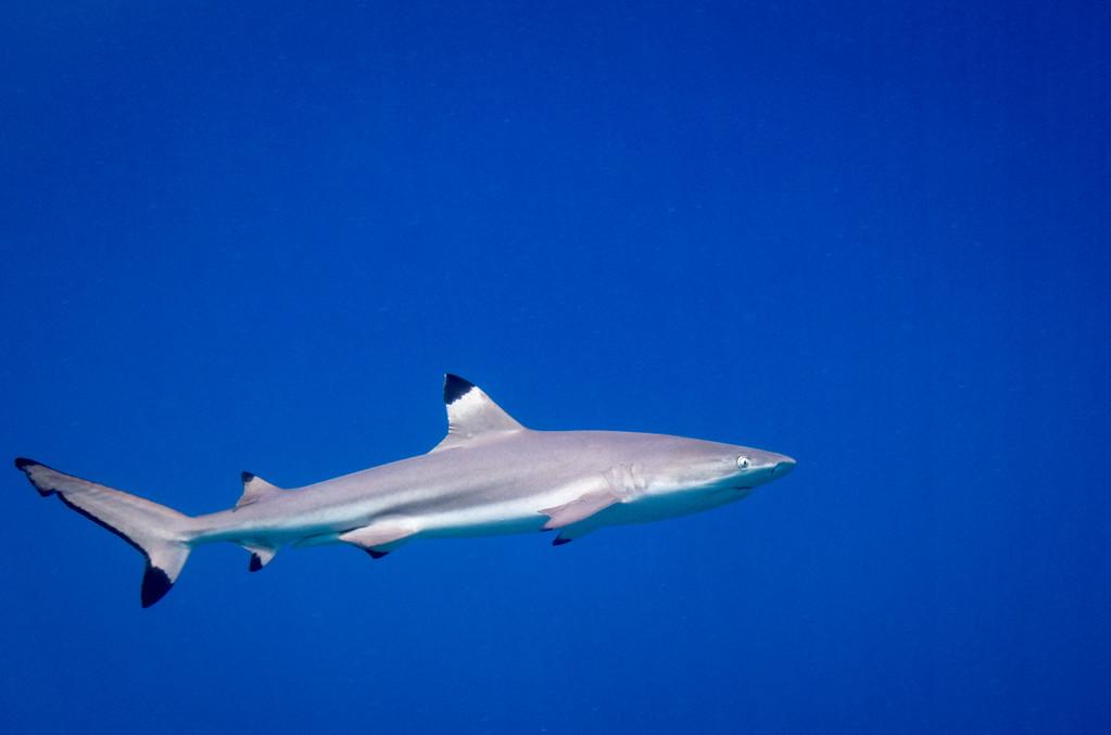 Balcktip Reef Shark by Ann