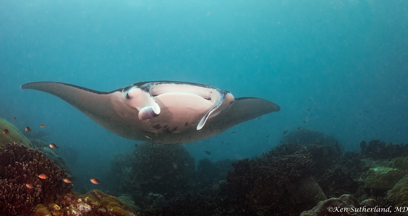 Manta ray at cleaning station