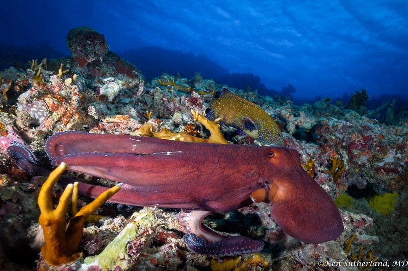 Reef Octopus on the move with Peacock Grouper