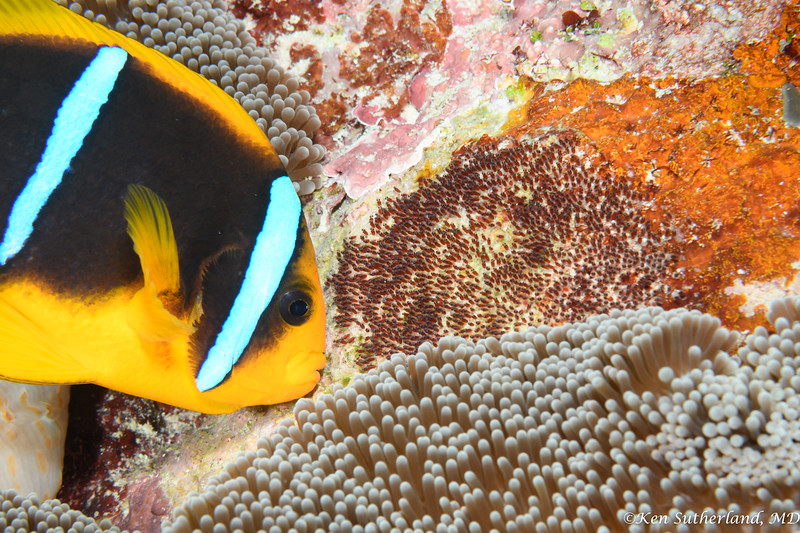 Clark's Anemone fish tending eggs