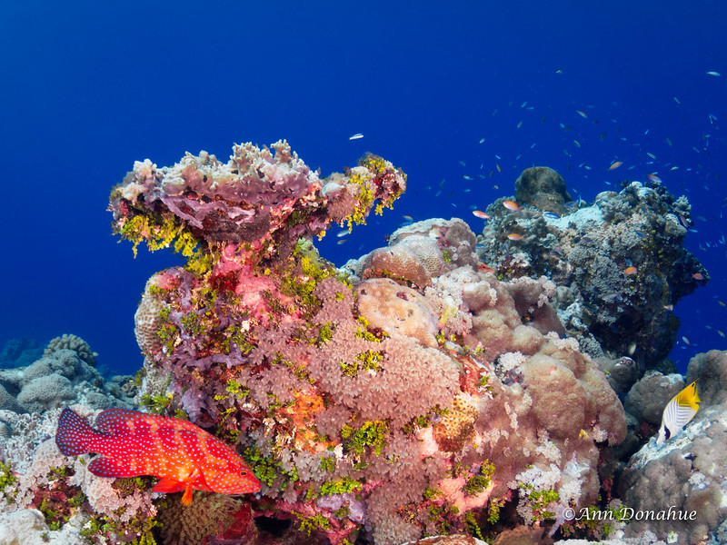 Coral Scene with Coral Grouper and Butterfly fish