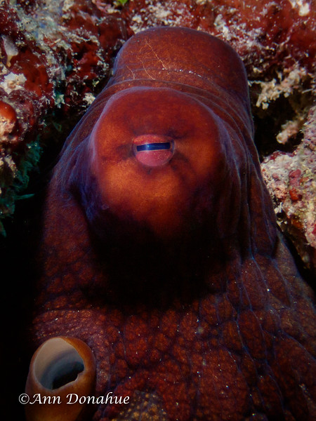 Reef Octopus head