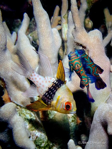 Cardinal fish and mating Mandarin fish