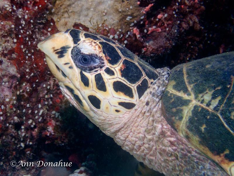 Hawksbill Turtle Head