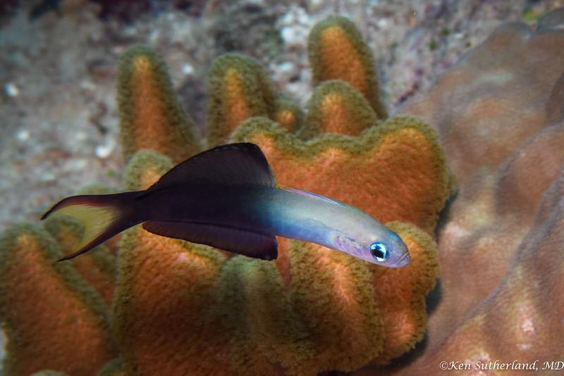 Dart fish