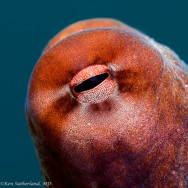 Reef octopus Eye