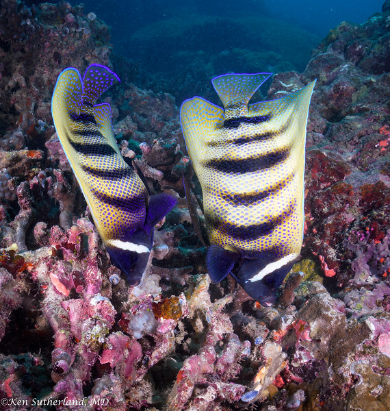 Double Six-banded Angelfish