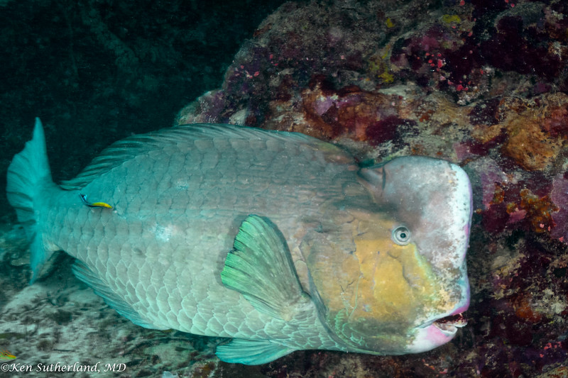 Bumphead Wrasee with Cleaner Wrasse