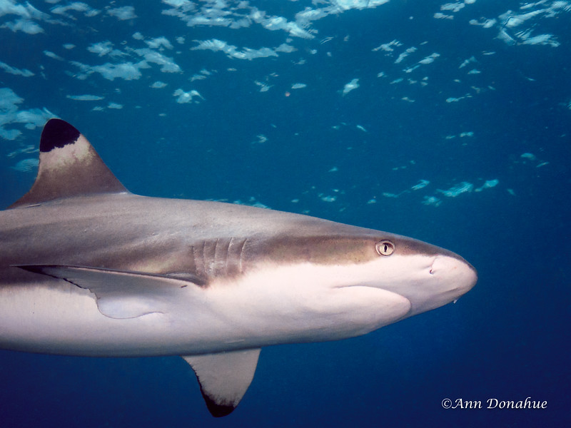 Blacktip reef Shark 2