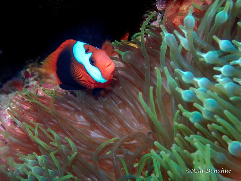 Megatron (Mutant Anemone fish)