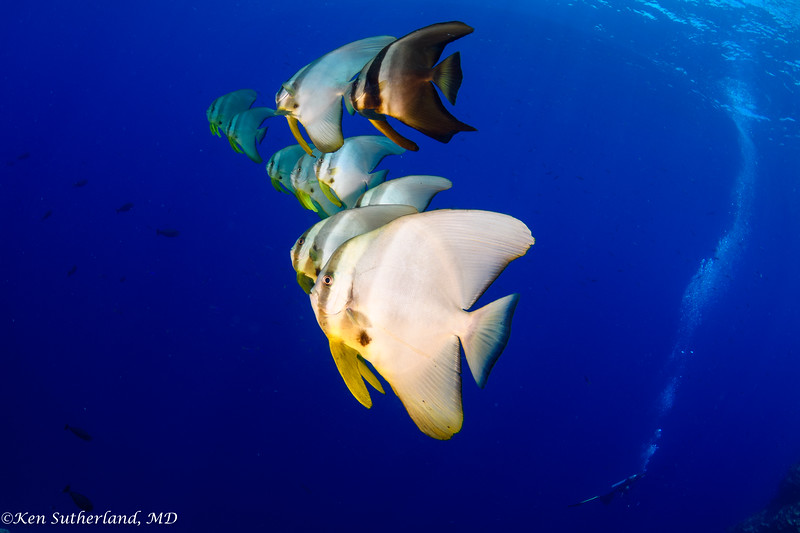 School of Batfish and diver