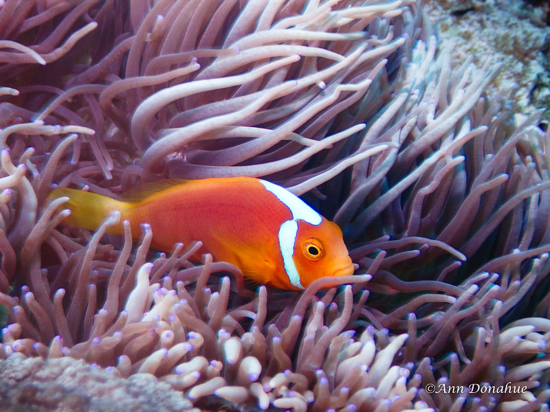 White Bonnet Anemone fish