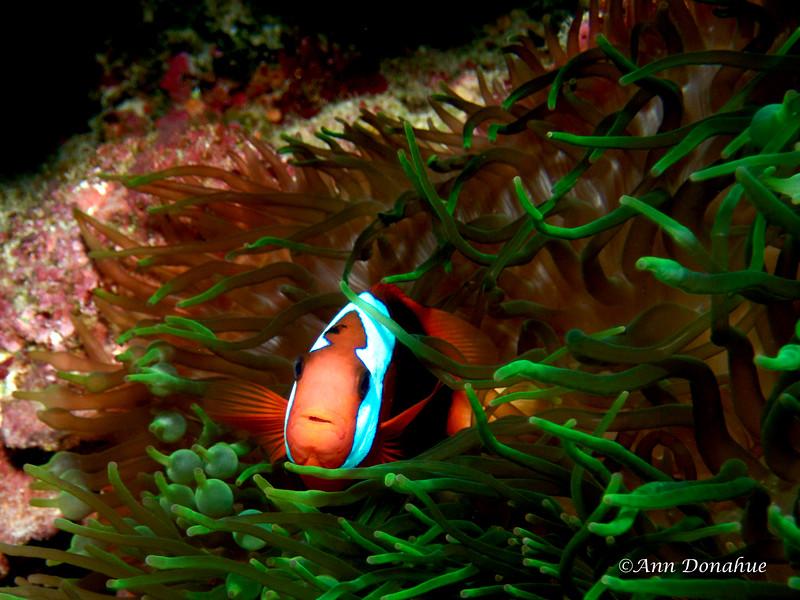 Megatron ( Mutant Anemone fish)