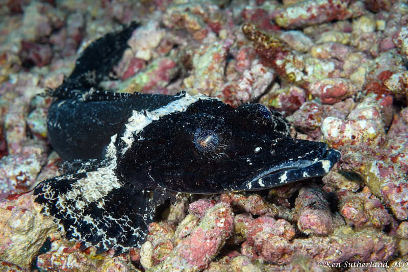 Black Crocodile fish
