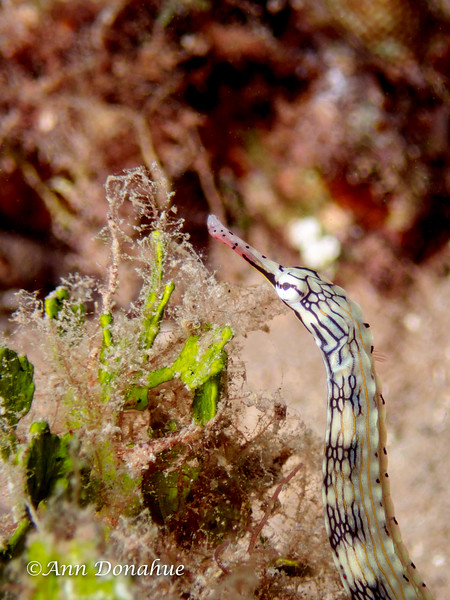 Banded Pipefish