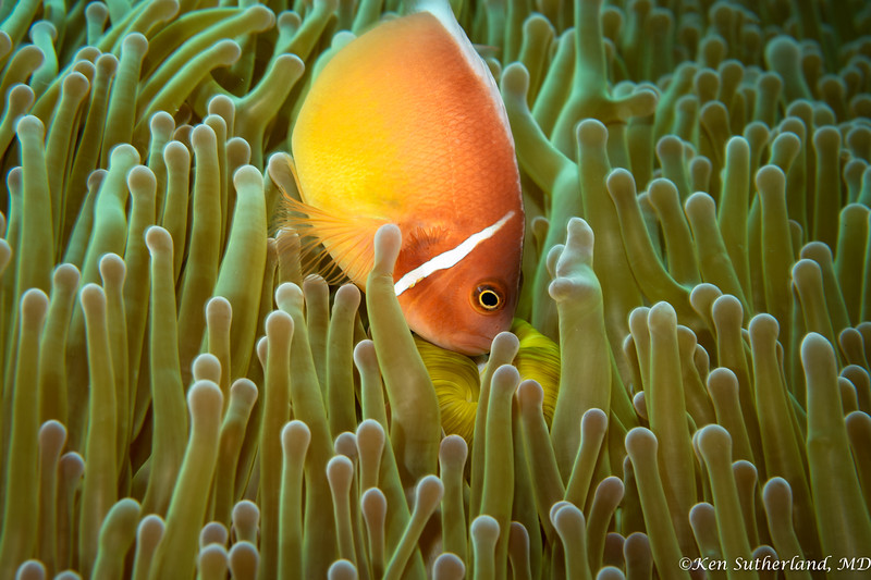 Pink Anemone fish  pecking at the anmone's mouth