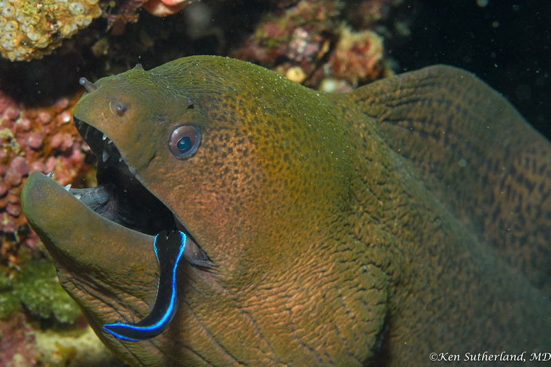 Moray eel and cleaner wrasse