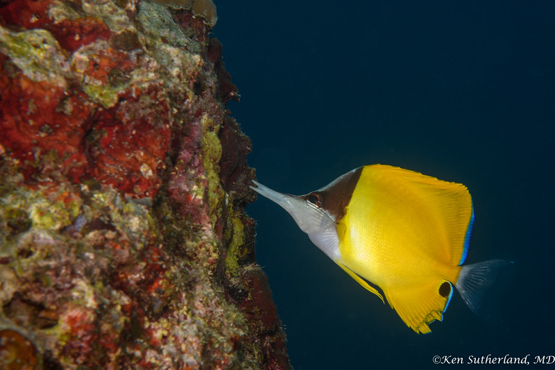 Longnose Butterfly fish 2