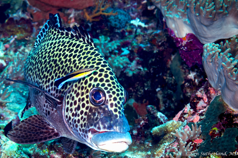 Sweetlips and cleaner wrasse