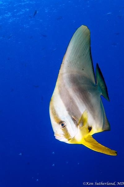 Batfish Stare