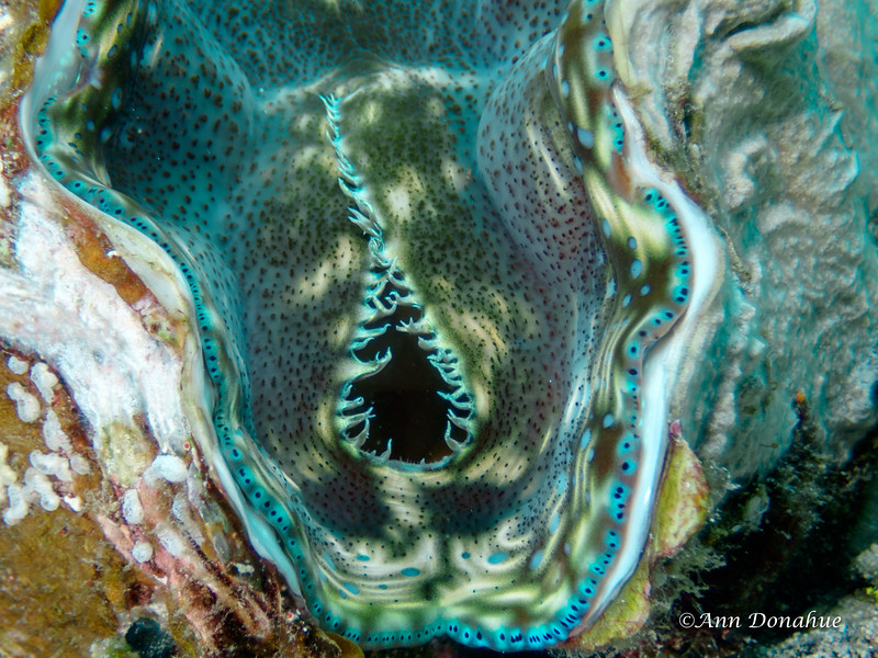 Mouth of Tridacna Clam 1