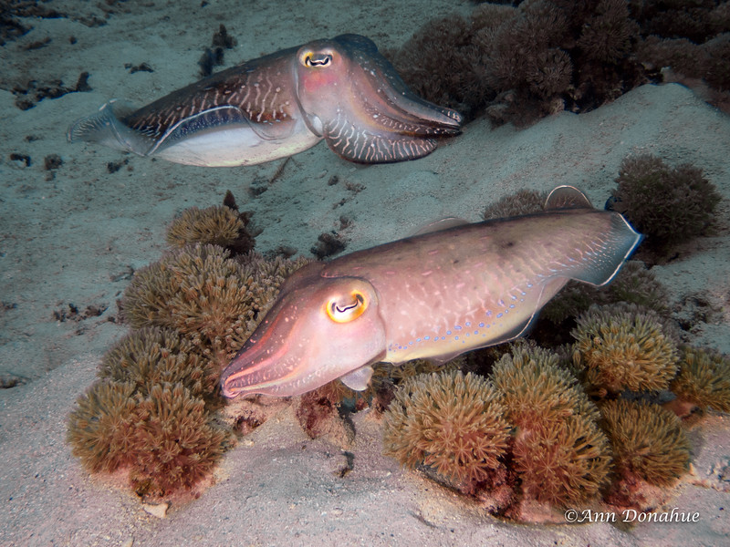 Double Cuttlefish